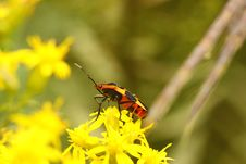 Free Large Milkweed Bug (Oncopeltus Fasciatus) Stock Photos - 16342293