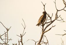 Free The Brown Snake Eagle Royalty Free Stock Images - 16342359