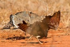 Free Battle Between Two Bustards Stock Image - 16342391