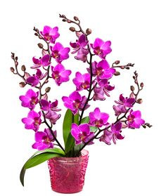 Free Orchid In A Pot Stock Photography - 16342422