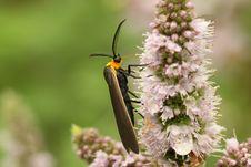 Yellow-collared Scape Moth (Cisseps Fulvicollis) Royalty Free Stock Photos