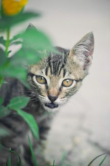 Free Cat Hunting Behind Green Grass Stock Images - 16342894