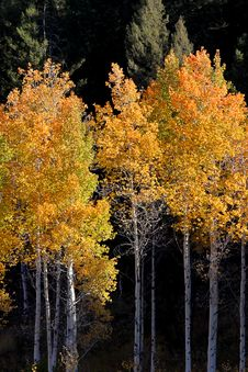 Free Colorful Aspen Trees Stock Photo - 16343280