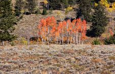 Free Colorful Aspen Trees Stock Image - 16343291