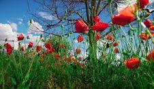Free Poppies Stock Image - 16343621