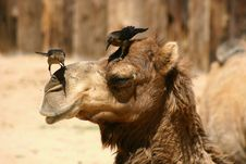 Free Camel Stock Image - 16344591