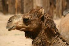 Free Camel Stock Photography - 16344592