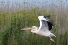 Free Great White Pelican Stock Image - 16345511