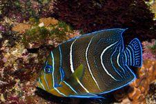 Free Koran Angelfish Juvenile Royalty Free Stock Images - 16345519