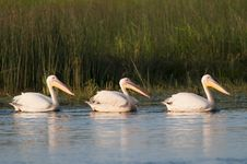 Free Three White Pelicans Royalty Free Stock Photography - 16345527