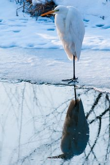 Great White Egret Standing On Ice Royalty Free Stock Images