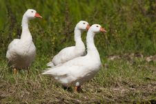 White Domestic Geese Stock Photography