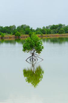 Free Little Mangrove Tree Royalty Free Stock Photos - 16346058