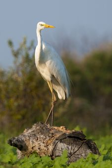 Free Great White Egret Stock Photography - 16346072