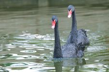 Free Black Swans Stock Images - 16346074