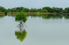 Little Mangrove Tree Stock Images