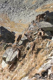 Herd Of Mountain Goats In Their Natural Habitat Royalty Free Stock Images
