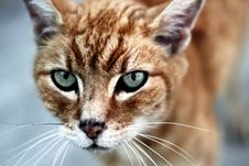 Free Intense Cat Royalty Free Stock Photos - 16347448
