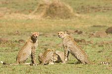 Free Cheetah Group Royalty Free Stock Photo - 16348755