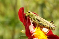 Free Differential Grasshopper Royalty Free Stock Images - 16349049