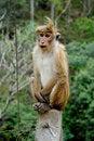 Free Sitting Monkey Royalty Free Stock Images - 16357079