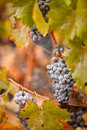 Free Lush, Ripe Wine Grapes With Mist Drops On The Vine Royalty Free Stock Images - 16358589