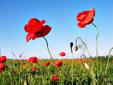 Free Poppy S Field Royalty Free Stock Photo - 16350285