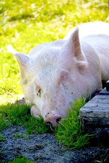 Free Pig Stock Photography - 16350612