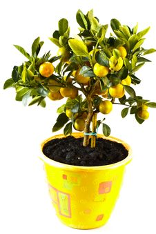 Free Mandarin Royalty Free Stock Images - 16350749
