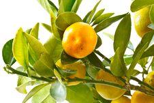 Free Mandarin Stock Photography - 16350892
