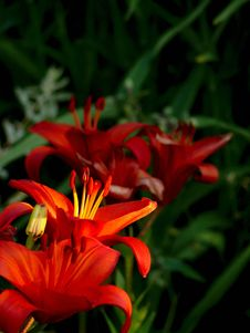 Free Red Lily. Pistils And Stamens. Stock Photo - 16352950