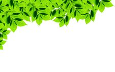 Free Green Leaves On White Background Royalty Free Stock Images - 16353019
