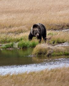 Free Grizzly Bear Royalty Free Stock Photo - 16353045