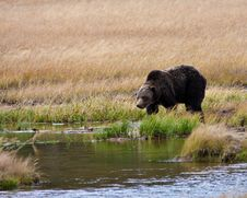 Free Grizzly Bear Stock Photography - 16353052