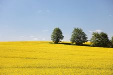 Yellow Field Rape In Bloom With Blue Sky Stock Photos