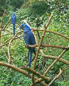Free Hyacinth Macaw Twins Stock Photos - 16354823