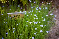 Free Linum (flax) Stock Image - 16355671