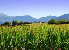 Free Cornfield In Lombardy, Italy Stock Images - 16355864