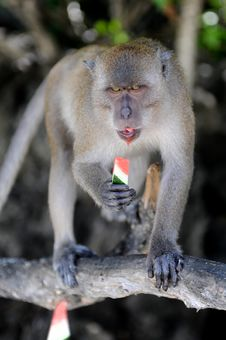 Free Monkey Eating Watermelon Stock Photos - 16356103