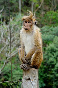 Sitting Monkey Royalty Free Stock Images