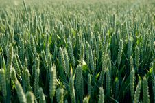 Free Green Grain Stock Images - 16357494