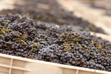 Free Harvested Red Wine Grapes In Crates Royalty Free Stock Photos - 16358628