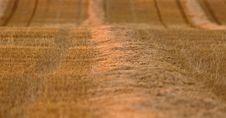 Free Wheat Field Swath Royalty Free Stock Photography - 16359787