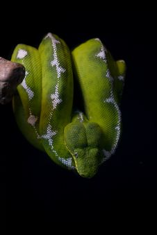 Free Emerald Tree Boa Royalty Free Stock Photo - 16359915