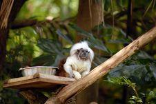 Cotton Top Tamarin Royalty Free Stock Image