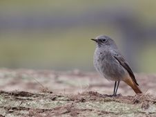 Free Black Redstart Royalty Free Stock Photos - 16361698