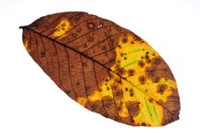Free Leaf Royalty Free Stock Photography - 16362257