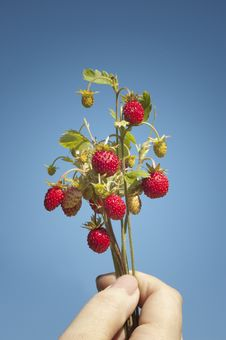 Free Wild Strawberries Royalty Free Stock Photo - 16364425