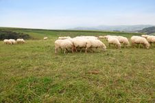 Free Sheep Herd Grazing In Nature Royalty Free Stock Photography - 16365137