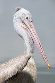 Free Spot-billed Pelican Royalty Free Stock Image - 16365536